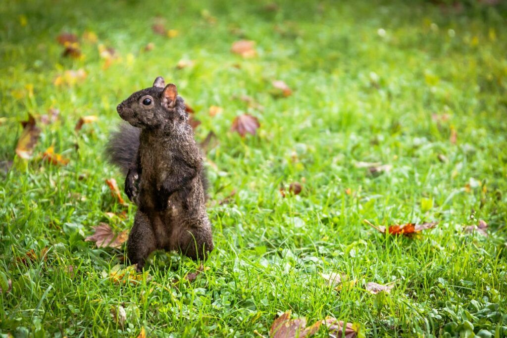Standing squirrel in the park. Free picture for your blog.