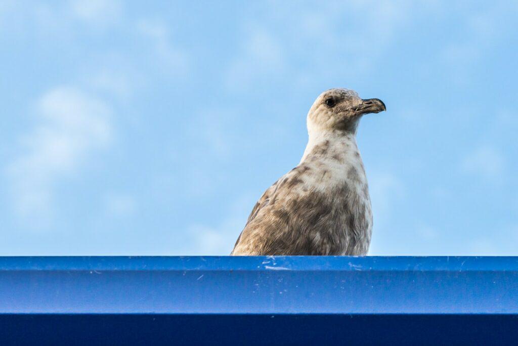 Westen Gull Juvenile: Free picture of a bird found in Steveston, British Columbia.