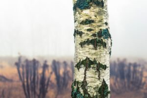 Birch Tree Closeup on a dull day in Autumn.